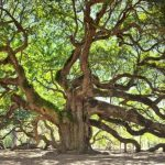 Angel Oak, 450 Years Old Tree in South Carolina