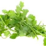 Coriander or Coriandrum Sativum A Hardy Annual Herb