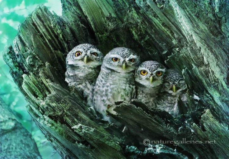 owl-photography-sasi-smit-11