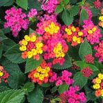 Lantana Heads are Clusters of Tiny Flowers in Shades of Red, Pink, Yellow and Orange, Sometimes all in One Cluster