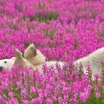 Playful Polar Bears having fun in the field of Wild Flowers