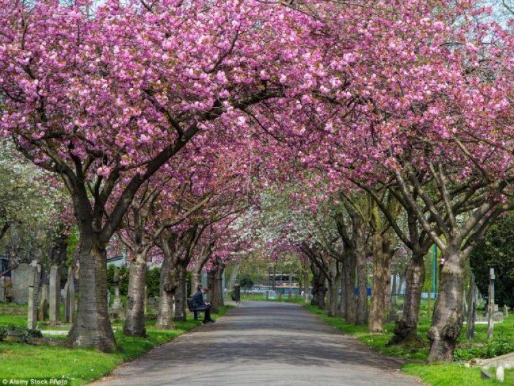 Battersea blossom in London