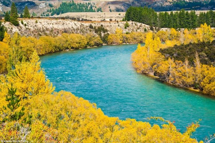 Bright yellow autumn trees bring the turquoise Clutha River in Wanaka to life
