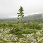 World's Oldest Individual Clonal Tree Discovered in Sweden