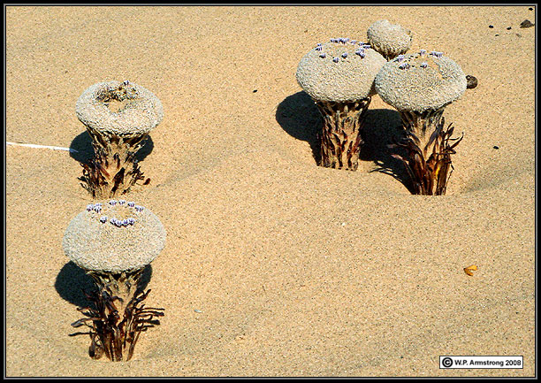 "In North America, a flower ""Pholisma Sonorae"" is most bizarre wildflower generally recognized as sand food."