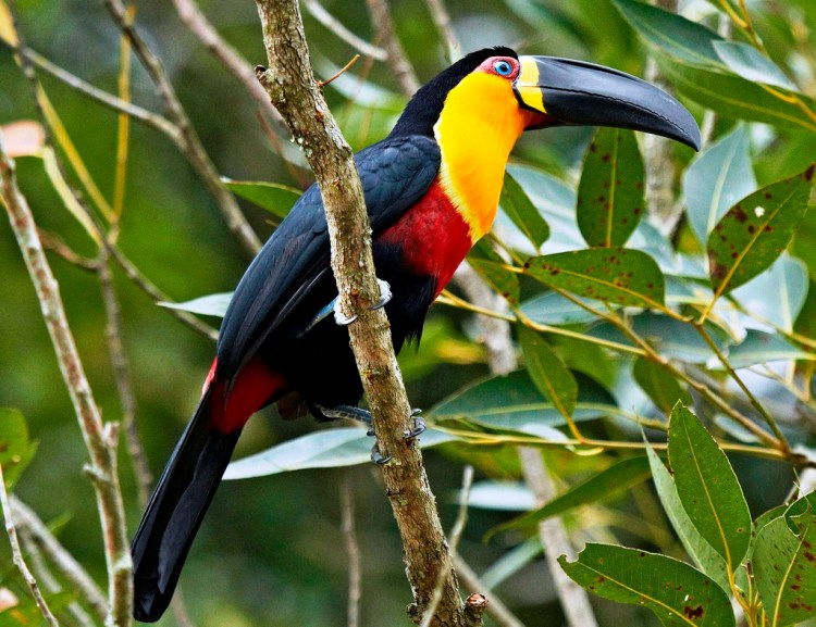 Channel-billed toucans reside in small families including of two parents and young. They may also form small flocks numbering 3 to 12 individuals.