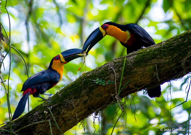 It is very akin to Cuvier's Toucan (Ramphastos tucanus cuvieri) make you confused.