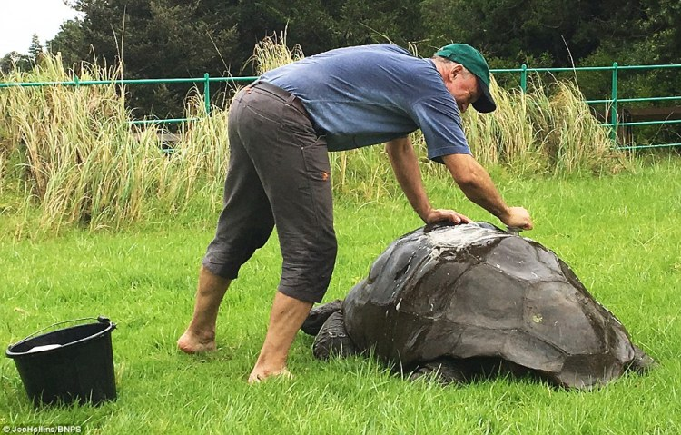 He carefully scrubbed each of the segments of Jonathan's shell, known as scutes, and removed black sludge and bird droppings while the tortoise sedately chewed on grass