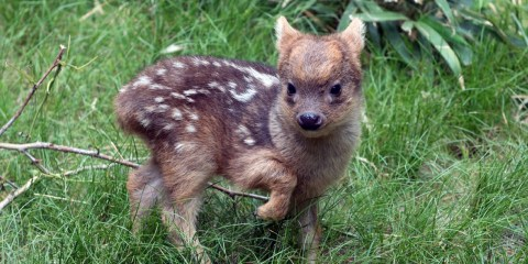 Pudu's are most active in morning, late afternoon and evening but do not interact socially, a very frightened animal