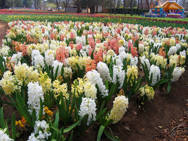 Hyacinth bulbs are planted in the fall and borne in spring.