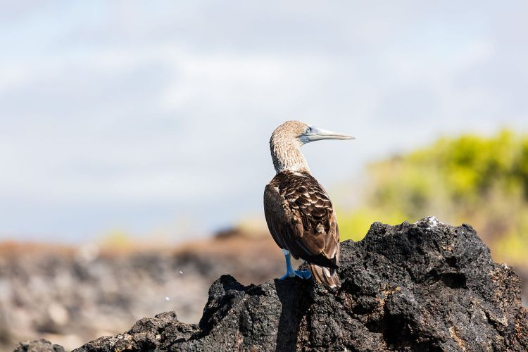 The blue-footed booby population appears to having trouble breeding and thus is slowly declining.