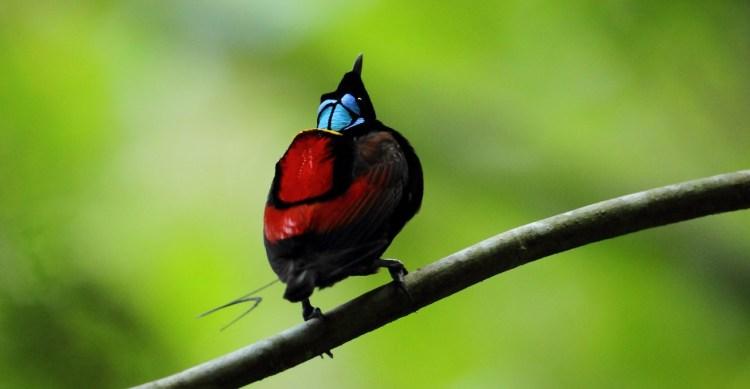 The Wilson' bird of paradise (cicinnurus respublica) is a species of passerine bird belongs to Paradisaeidae family,