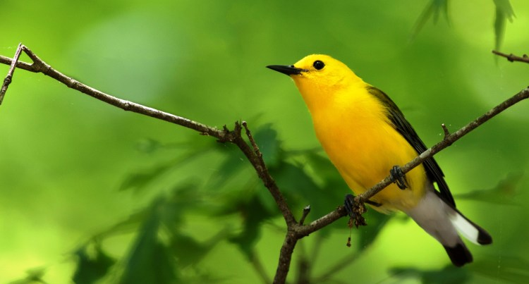 Prothonotary Warbler is one of the most striking wood-warblers of North America, intrigues and delights those who visit its swampy world.
