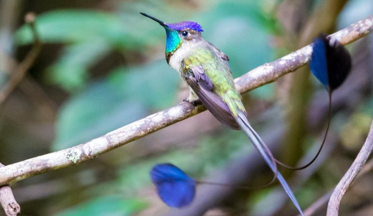 The medium size hummingbird adorned with different colors, white green and bronze with blue crest feathers, and a brilliant turquoise gorget and black line on its white underparts.