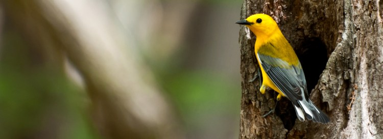 The Prothonotary warbler likes foraging habitat is dense, woody streams, in low foliage, mainly for insects and snails.