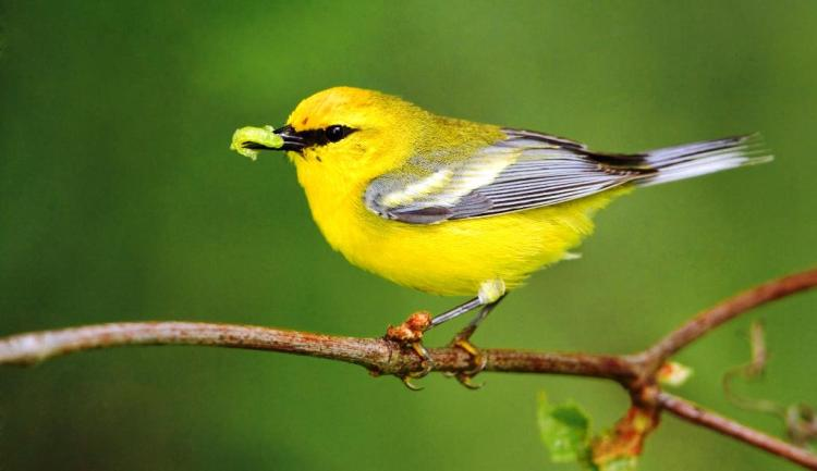 The song of this bird call is a loud, dry chip, like that of a hooded warbler and its flight call is a loud seeep.