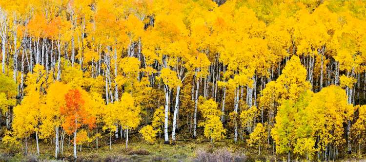 Pando's, multiplied thousands of thousands trees prevalent in massive acres unnerving, giving a real sense of life to the ancient dying, trembling giant.
