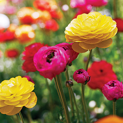 The beautiful flowers which are several inches across are round globes made up of several papery textured petals in bright, almost electric colors like red, pink, yellow, gold, white, and picotee that are with the petals edged in a contrasting color.
