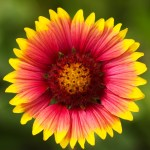 Blanket Flower; Beautify your Home and Gardens