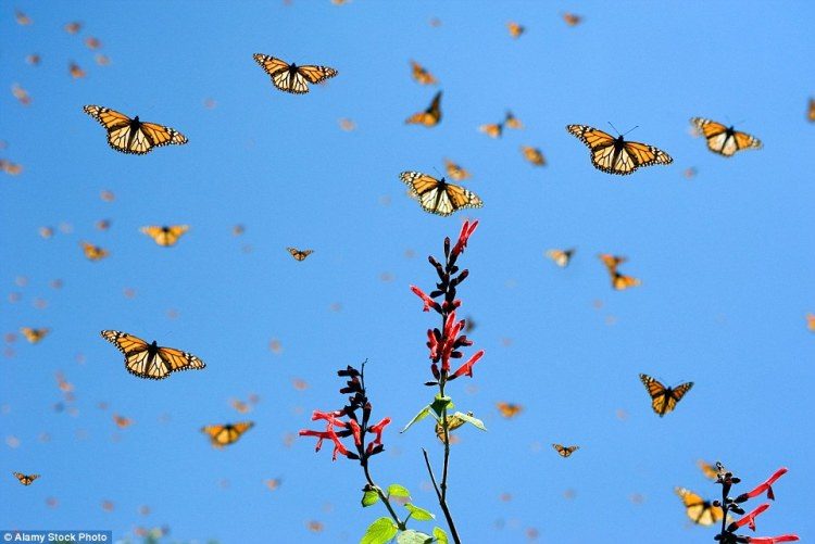 Colorful Monarch Butterflies migrate south for the winter from the USA and Canada and all three countries are working to conserve the animals
