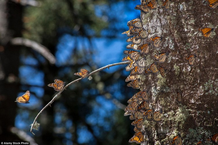 The migration is an inherited trait No butterfly lives to make the full round trip, and it is unclear how they find their way back to the same patches of pine forest in Mexico each year.