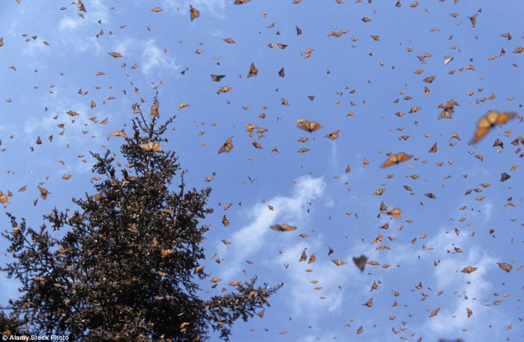 The number of monarchs making the 3,400-mile (5,500-kilometer) migration from the United States and Canada declined steadily in recent years before recovering in 2014