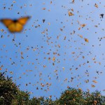 The Migration of Monarch Butterflies