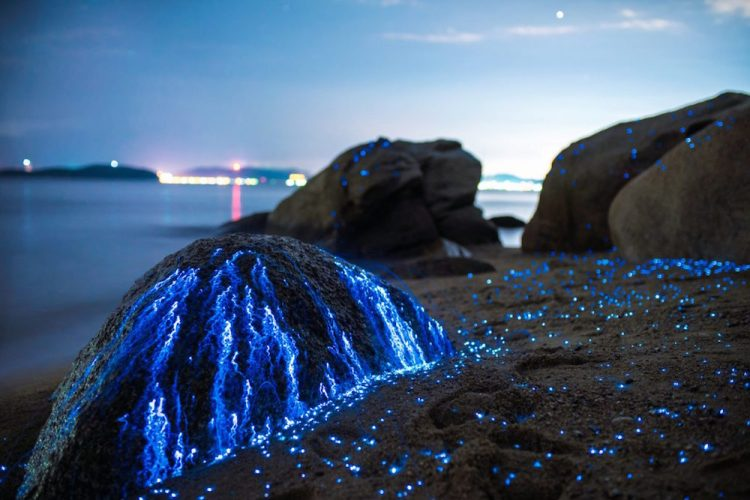 Therefore, it is more usually referred to as sea fireflies, these sporadic creatures live in the sand in shallow sea water, floating somewhere between the extremes of high and low tide.