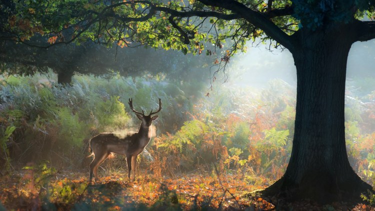 A fallow deer stag, Dama dama, resting in a misty forest in Richmond Park in autumn.