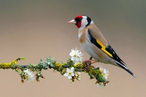 The goldfinch size is about 12 to 13 cm long with a wingspan is 21 to 25 cm and a weight of 14 to 19 gram.