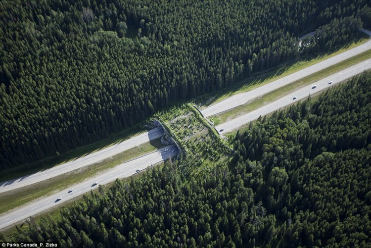 In Canada's Banff National Park in Alberta, 24 green overpasses like this one have been built over the busy highways to help animals including bears, moose and wolves cross safely