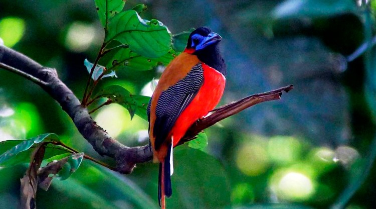 Moreover, to the territorial and breeding calls given by males and females during the breeding seasons, though, red-naped trogons have also been recorded as having aggression and alarm calls.