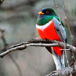 The Red-naped Trogon (Harpactes kasumba)