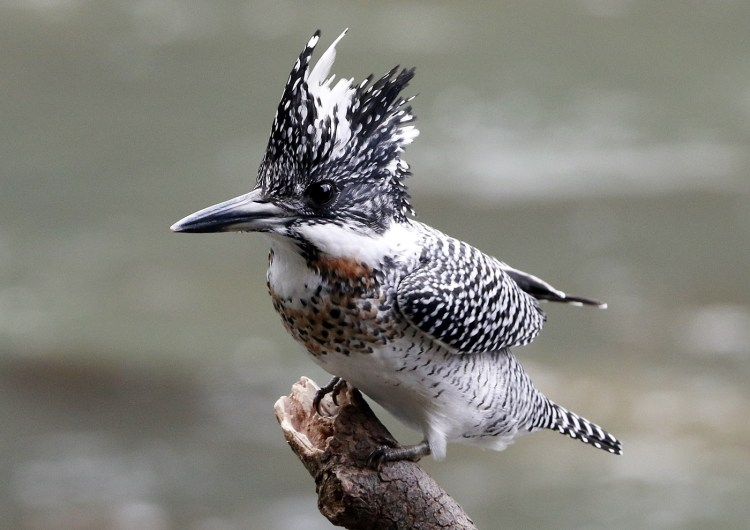 The Crested Kingfisher is a species of bird in the Alcedinidae family. This bird is mainly found in Mountain Rivers and larger rivers in the foothills of mountains.