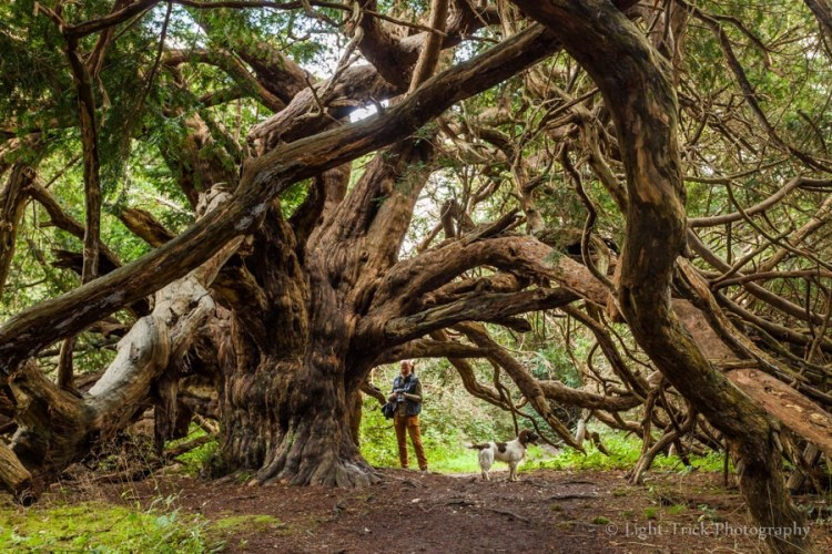Yews naturally have lifespans between 500 to 600 years, but some specimens can live longer.