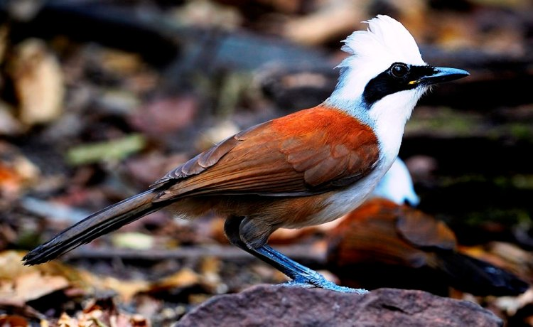 The bird habitually builds a wide, shallow nest at least six feet off the ground, normally constructed of bamboo leaves. The birds lays 3 to 5 eggs incubate for a short period of 15 days, letting White-crested Laughing Thrushes to generally produce at least two clutches of young each year.