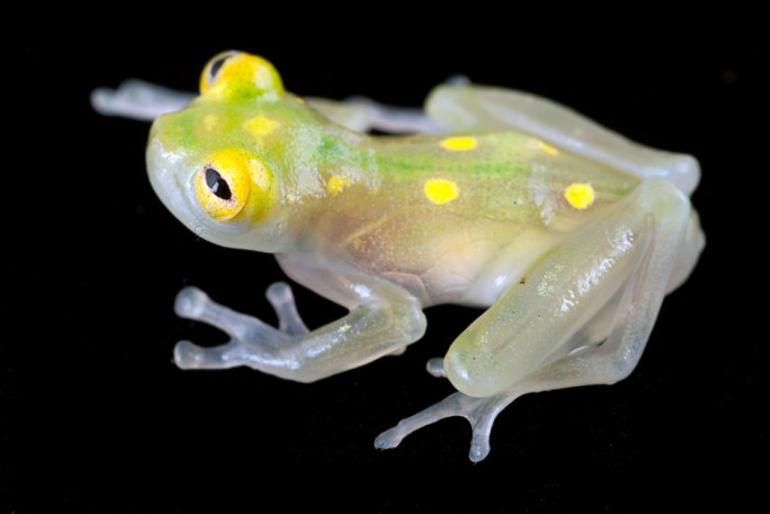 Probably you've never seen such breathtaking creatures on earth. Yeah, this is really transparent frogs! Known to eat their own young! EEEK!