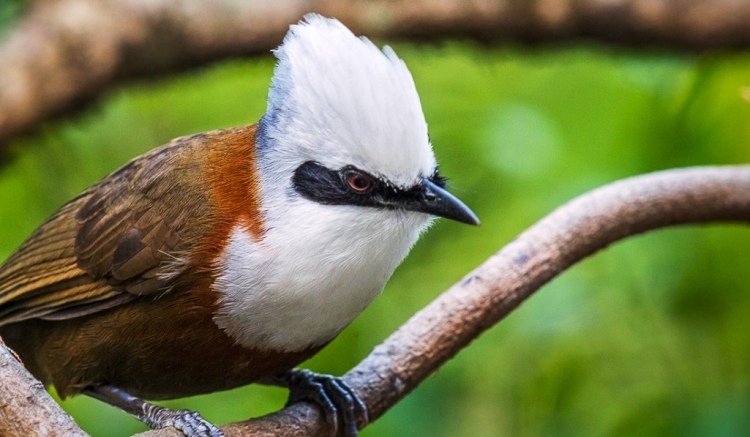 """A charismatic """"cute'-looking bird"""" usually moving in flocks ranging from pairs to noisy gangs of eight,"""