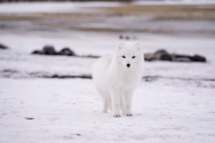 Artic Foxes Photo Jonatan Pie