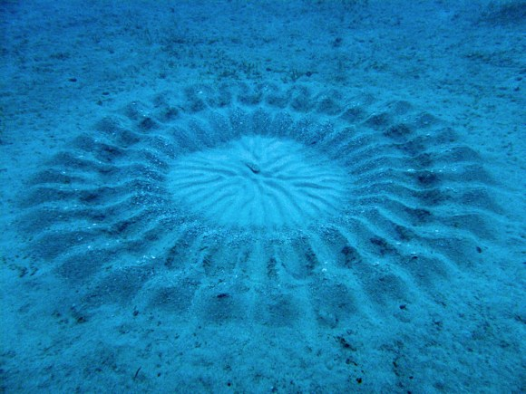 The discovery of amazing little puffer fish capable of creating elaborately designed 'crop circles' at the bottom of the ocean as part of an elaborate mating ritual.