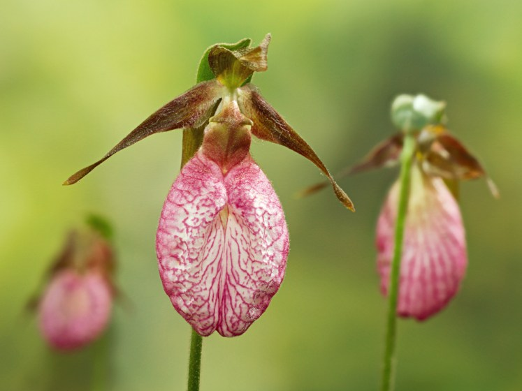 The flowers rely on a process called symbiosis to survive, which is typical of most orchid species.