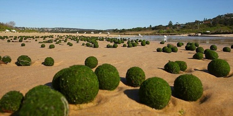 These beautiful Moss balls grow in sizes of 12 to 30 cm across, subject on where you find them.