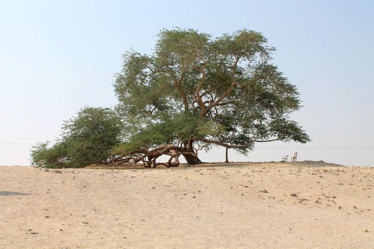 """It is also called """"Hadzharat Al Haya"""" or Shajarat al-Hayah, which means """"tree of life""""."""