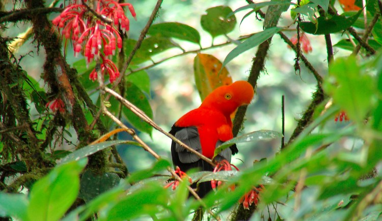 The Andean cock-of-the-rock (Rupicola peruvianus), also known as tunki (Quechua), is a large passerine bird of the cotinga family