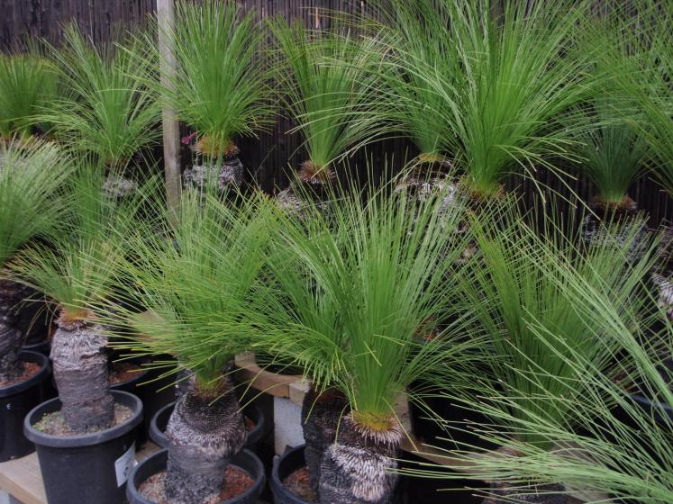 The leaves are a grey or bluish glaucous green. The grass tree has two sub-species, which are recognized; subspecies angustifolia and glauca.