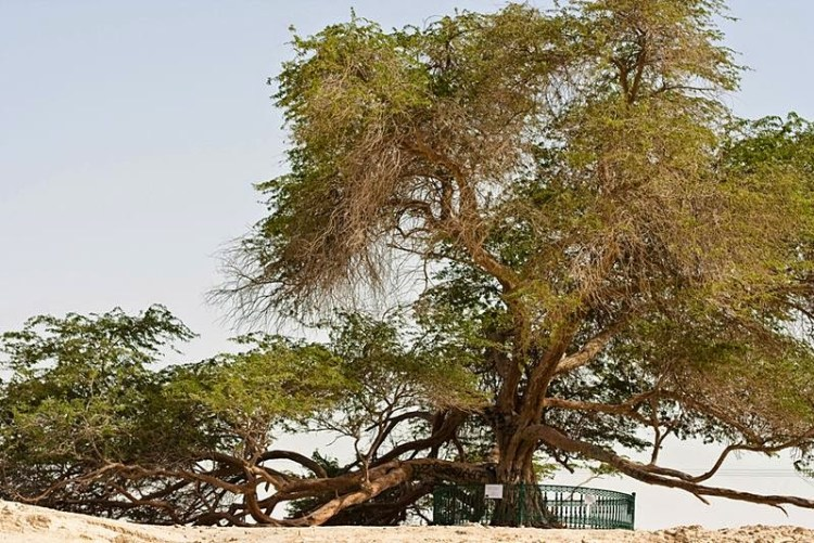 Hence, like all mesquite trees, Sharajat-al-Hayat pretty good feels dry conditions. No one is sure how the tree survives. Image credit Omar Chatriwala