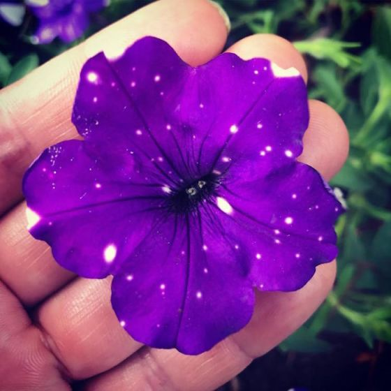 So, all you need to do is to buy yourself some Night Sky Petunias, because as you can see, their petals look like they're hiding secret little universes inside of them.  (Image credits oahu_gardeners)