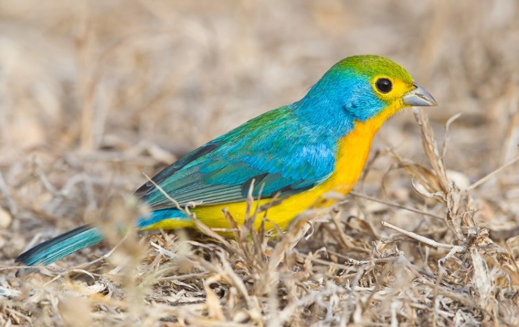 Not surprisingly, they are popular in the cage bird trade is a bit smaller length 12.5 cm and shorter-billed than Rose-bellied Bunting (Passerina rositae),