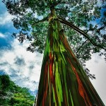 Rainbow Eucalyptus, The Most Amazing Tree on Planet Earth