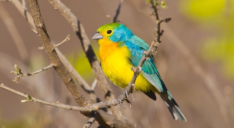 The adult birds are blue above with a mossy green crown and mantle, and are yellow below with an orange wash across the breast.